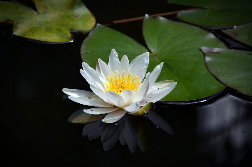 foto van lotusbloem